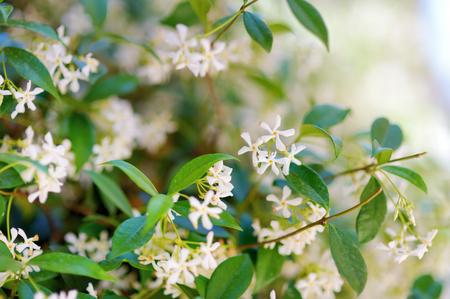 jasmine bush: Star jasmine flowers on a blooming jasmine bush Stock Photo