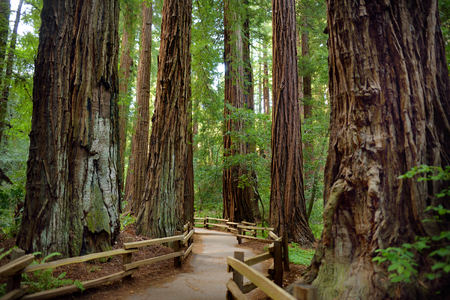 muir: Hiking trails through giant redwoods in Muir forest near San Francisco, California, USA Stock Photo