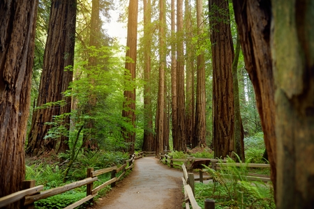 Hiking trails through giant redwoods in Muir forest near San Francisco, California, USA Stock Photo