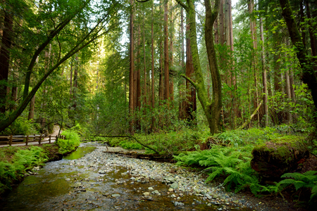 sequoia: Hiking trails through giant redwoods in Muir forest near San Francisco, California, USA Stock Photo