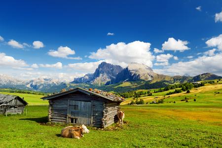 Seiser Alm의 암소, 유럽에서 가장 높은 고도의 고산 초원, 배경에 멋진 록키 산맥. 사우스 티롤 지방의 이탈리아, 숙박료. 스톡 콘텐츠