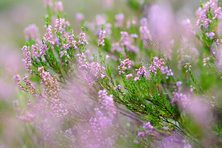 Detail of a flowering heather plant in lithuanian landscape