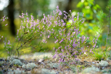 ericaceae: Detail of a flowering heather plant in lithuanian landscape