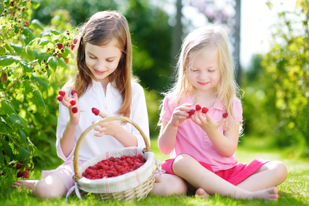 organic raspberry: Cute little sisters picking fresh berries on organic raspberry farm on warm and sunny summer day. Children harvesting in a garden.