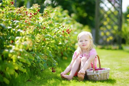 organic raspberry: Cute little girl picking fresh berries on organic raspberry farm on warm and sunny summer day. Child harvesting in a garden.