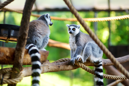 Two cute ring-tailed lemurs sitting on a branch in italian zoo