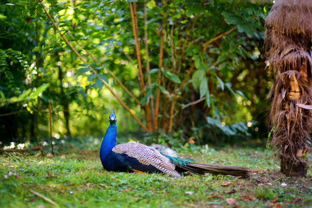 Beautiful peacock relaxing on the grass in a zoo