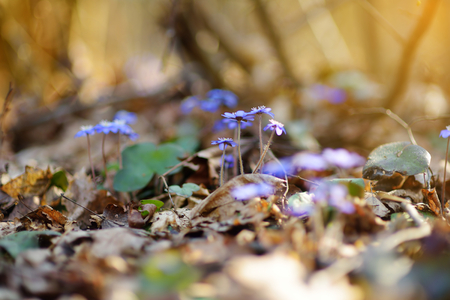 liverwort: Blossoming hepatica flower in early spring in forest