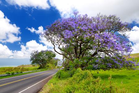 Mooie purpere jacarandabomen die langs de wegen van het eiland van Maui, Hawaï, de VS bloeien