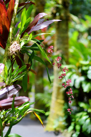 Beautiful orchids in natural environment in Tropical Botanical Garden of the Big Island of Hawaii. Lush tropical vegetation of the islands of Hawaii, USA
