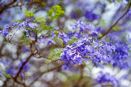 Nahaufnahme Der Schönen Lila Jacaranda Bäume Entlang Der Straßen Von ...