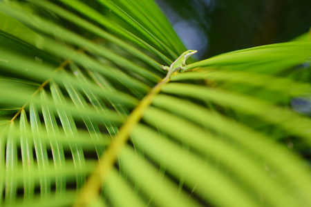 Gecko relaxing on green tropical leaf. Lush tropical vegetation of the islands of Hawaii, USA