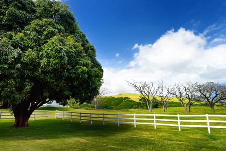 Giant mango tree near white fence. Beautiful landscape of south side of the Big Island of Hawaii, USA.