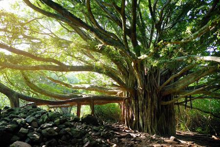 Takken en hangende wortels van reusachtige Banyanboom groeien op beroemde Pipiwai-parcours op Maui, Hawaii, USA Stockfoto