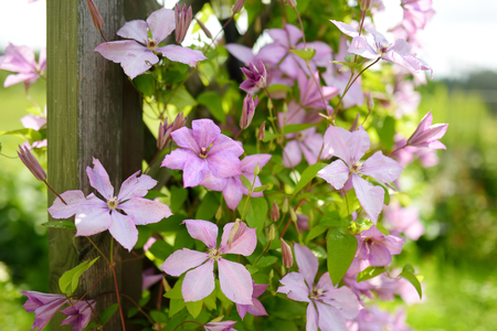 Flowering pink clematis in the garden. Flowers blossoming in summer.
