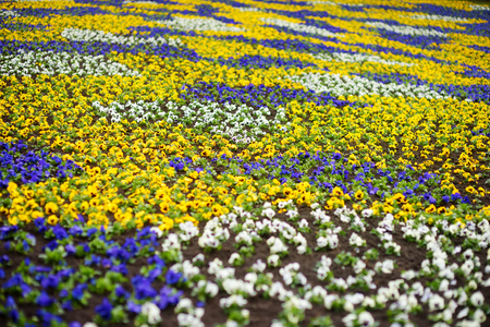 Blooming pansy flowers in the park. Spring landscape. Beauty in nature.