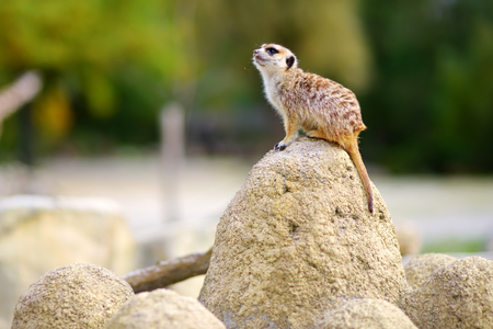 One funny meerkat standing tall waiting for visitors in a zoo. Cute animals in a zoo. Stockfoto