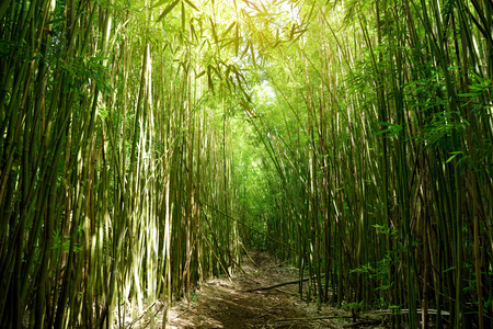 Path through dense bamboo forest, leading to famous Waimoku Falls. Popular Pipiwai trail in Haleakala National Park on Maui, Hawaii, USA 免版税图像
