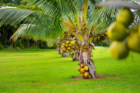 A bunch of coconuts ripening on a dwarf coconut tree on the Big Island of Hawaii, USA