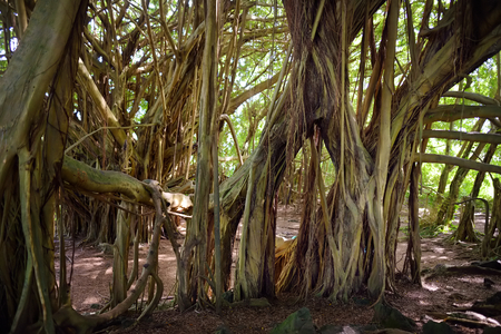 Branches and hanging roots of giant banyan tree on the Big Island of Hawaii, USA Stock Photo