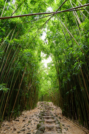 Path through dense bamboo forest, leading to famous Waimoku Falls. Popular Pipiwai trail in Haleakala National Park on Maui, Hawaii, USA Stock Photo