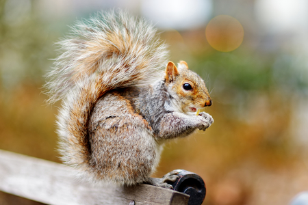 Eastern gray squirrel in Central Park in New York, USA 版權商用圖片