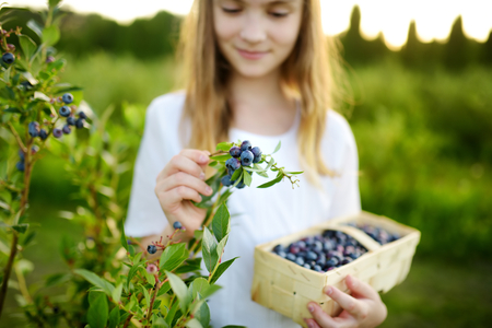 Cute little girl picking fresh berries on organic blueberry farm on warm and sunny summer day. Fresh healthy organic food for small kids. Family activities in summer.