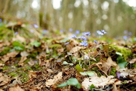 Blossoming hepatica flower in early spring in forest. Beauty in nature.