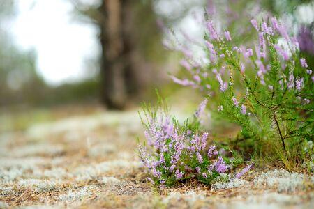 Detail of a flowering heather plant in Lithuanian landscape. Beautiful outdoor scenery. 版權商用圖片