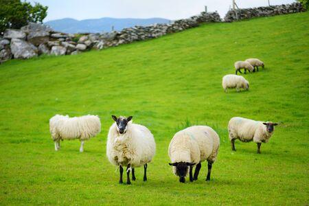 Pecore segnate con colorante colorato che pascolano nei verdi pascoli. Pecore adulte e agnellini che si alimentano nei prati verdi lussureggianti dell'Irlanda.