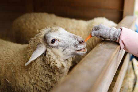 Two cute young sisters having fun feeding sheep in a small petting zoo on traditional Christmas market in Riga, Latvia. Happy winter activities for kids. Feeding holiday animals.