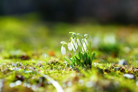 Spring snowdrop flowers blossoming outdoors. First flowers of spring.
