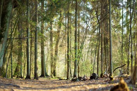 Beautiful mixed pine and deciduous forest, Lithuania, Europe