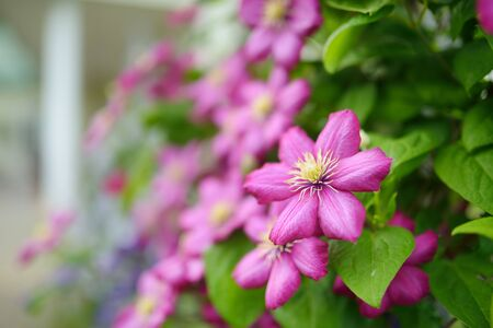 Flowering pink clematis in the garden. Flowers blossoming in summer. Beauty in nature.