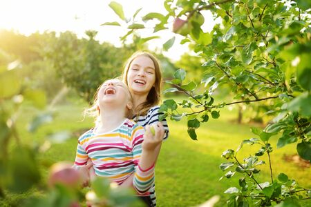 Cute young girls harvesting apples in apple tree orchard in summer day. Children picking fruits in a garden. Fresh healthy food for small kids. Family nutrition in summer.
