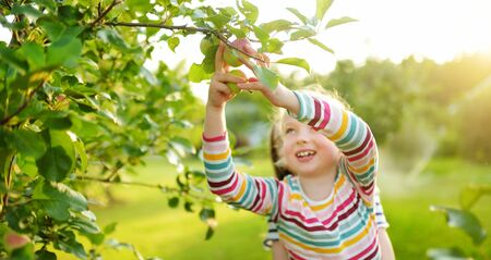 Cute young girl harvesting apples in apple tree orchard in summer day. Child picking fruits in a garden. Fresh healthy food for small kids. Family nutrition in summer.