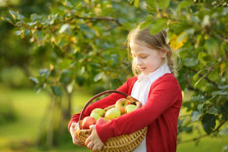 Cute young girl harvesting apples in apple tree orchard in summer day. Child picking fruits in a garden. Fresh healthy food for kids. Family nutrition in summer.