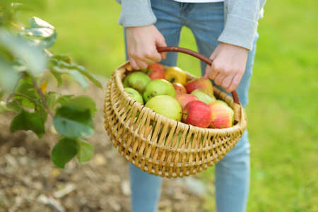 Basket full of fresh organic apples. Harvesting apples in apple tree orchard in summer day. Picking fruits in a garden. Fresh healthy food. Family nutrition in summer