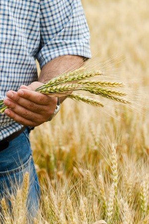 green wheat: Farmer with wheat in hands. Field of wheat on background.