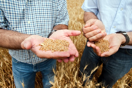 Two farmers with a grain of wheat in his hands.  Stock Photo