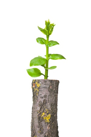 deforestation: Young tree seedling grow from old stump