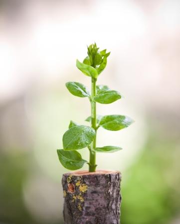 deforestacion: Pl�ntulas de �rboles j�venes crecen desde el toc�n de edad