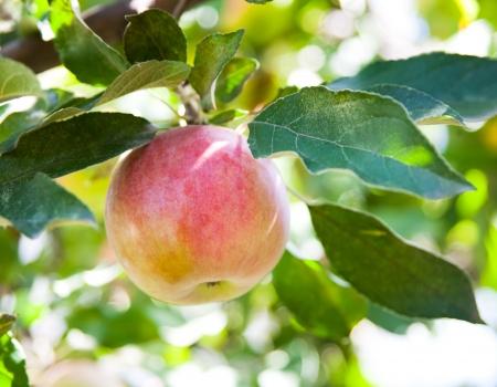 apple orchard: Apple Tree