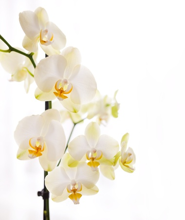 phal: Orchid on white background Stock Photo