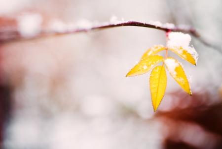 winter thaw: Frozen autumn leaves