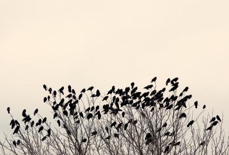 Black ravens on the tree branch