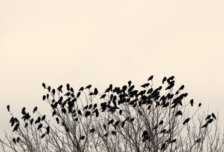 bird wings: Black ravens on the tree branch