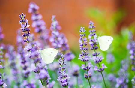 pieridae: Closeup photo of a Cabbage White butterfly on lavender, with another butterfly in the background