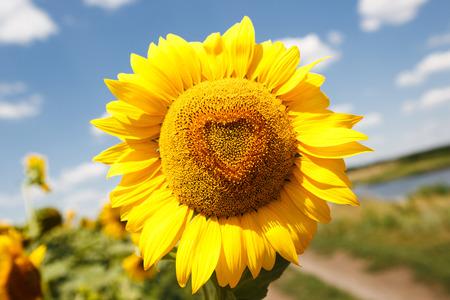 giant sunflower: Heart shaped sunflower, close up photo Stock Photo