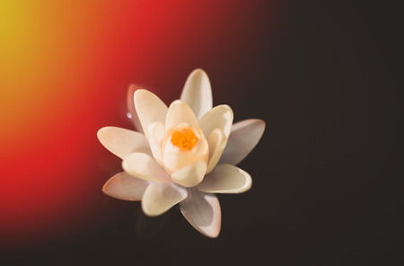 tinted: Water lily, tinted photo Stock Photo